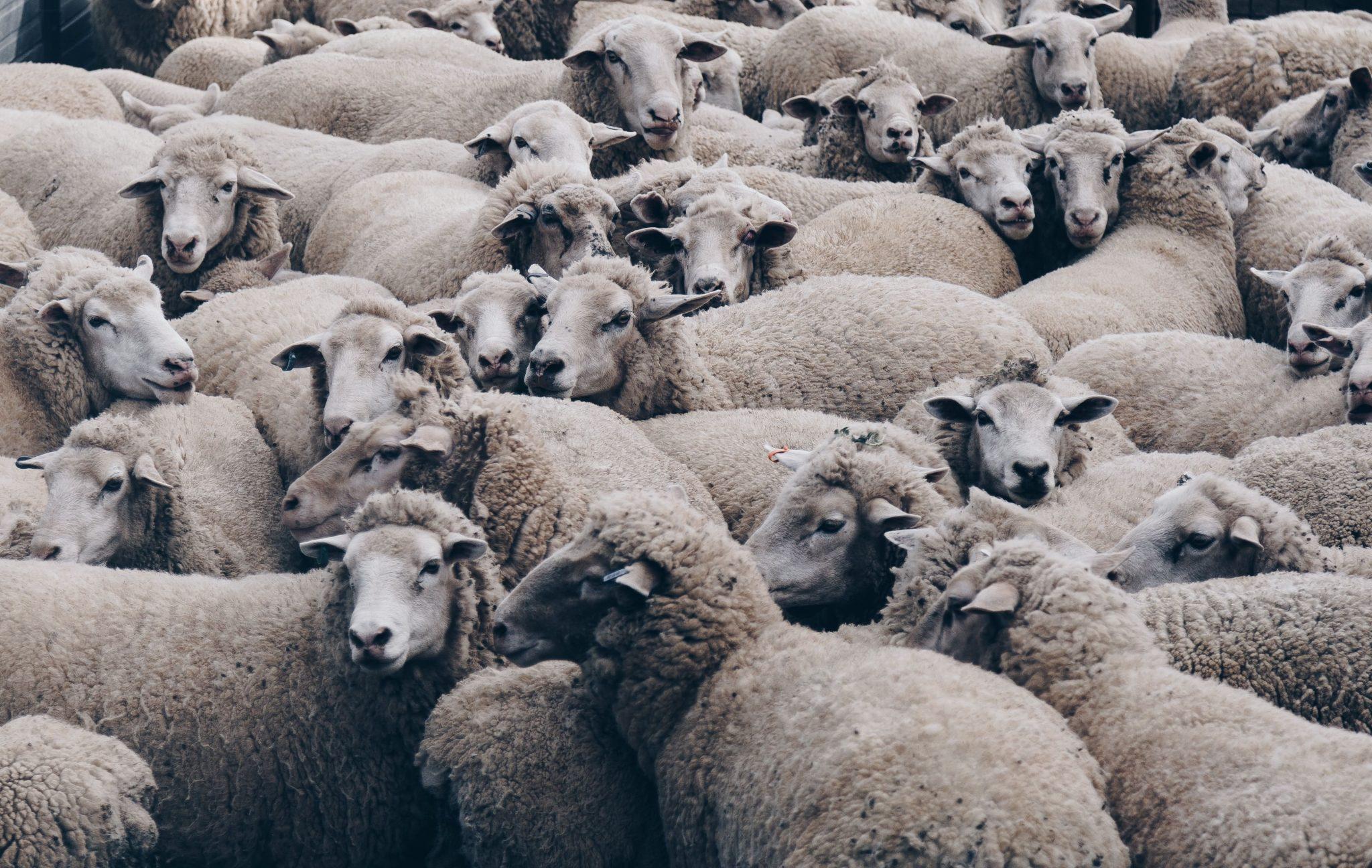 מה הקשר בין כבשים לפתירת בעיות עסקיות? תתפלאו, מתקשר
